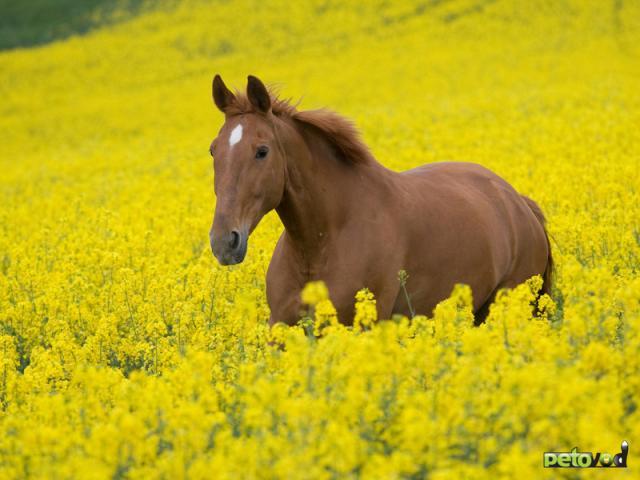 Избыточный вес у лошади