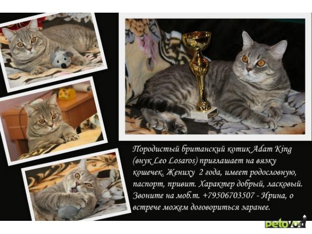 Вязка: Британский котик приглашает на вязку кошечек