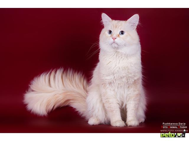 Вязка: Невский маскарадный кот для вязки