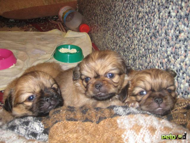 Продаю:  щенков пекинеса