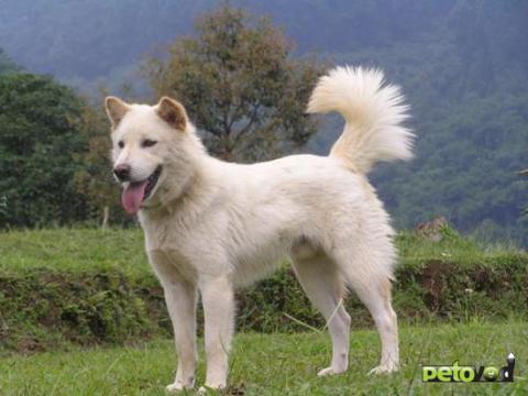 Корейская собака Джиндо