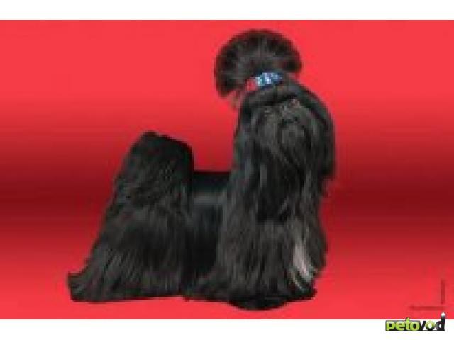 Продаю: Породные щенки ши-тцу