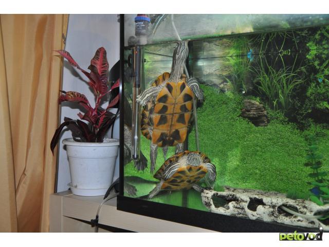 Отдам в дар: Отдам двух красноухих черепах с террариумом 270 л