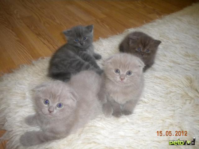 Продаю: Шотландские вислоухое котята
