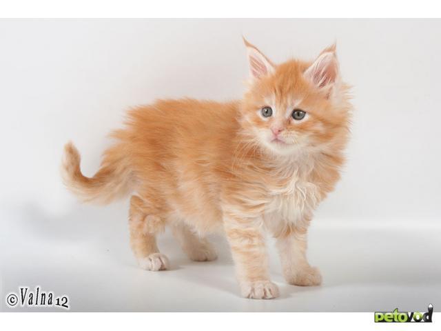 Продаю: Супер котята Мейн-Кун