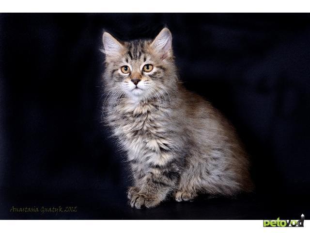Продаю: Котята курильского бобтейла