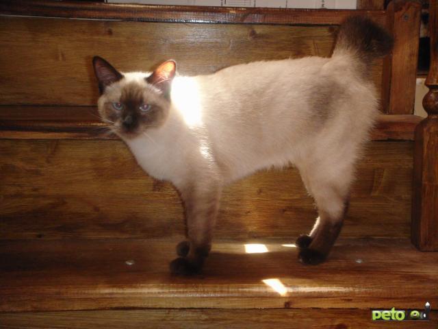Продаю: Котенок меконгского (тайского) бобтейла