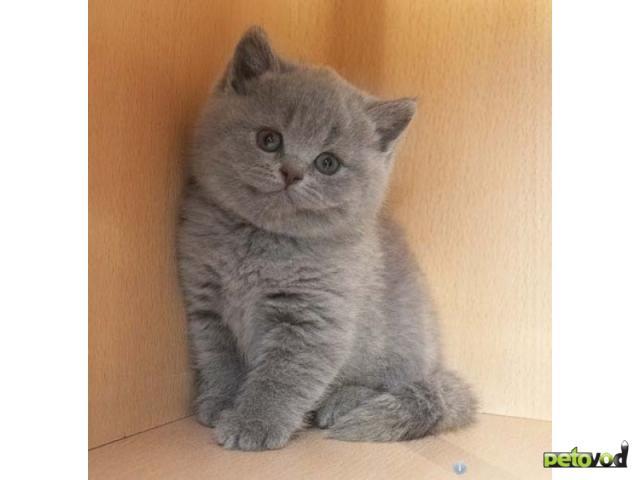 Продаю:  котят британской породы