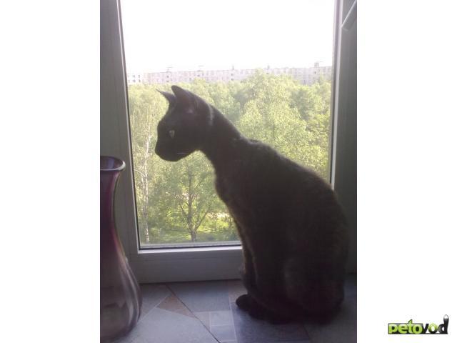 Потерялся/Нашелся: Нашли кота донского сфинкса браш
