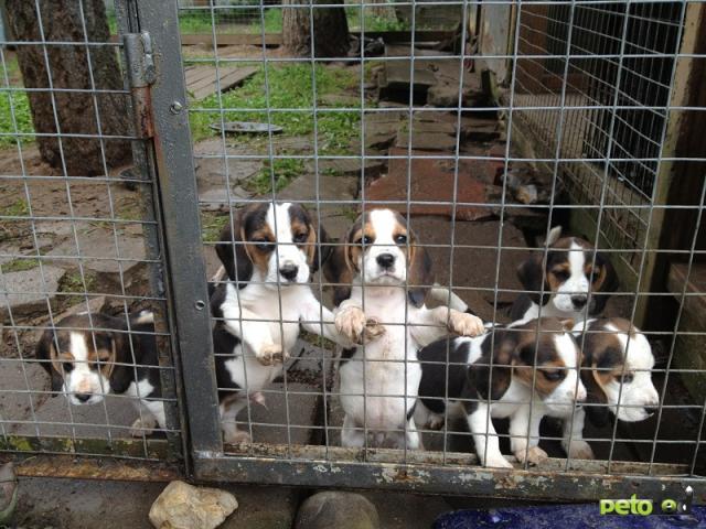 Продаю: тся щенки бигля (4 кобеля, 2 суки)