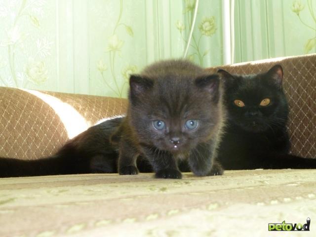 Продаю:  британского черного котенка