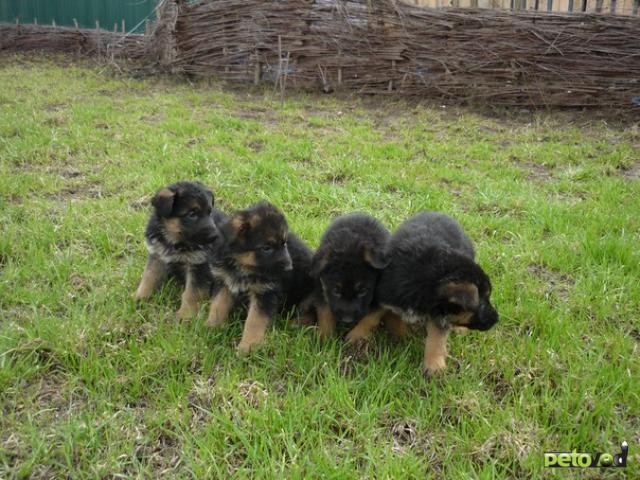 Продаю: Щенки немецкой овчарки в Новосибирске