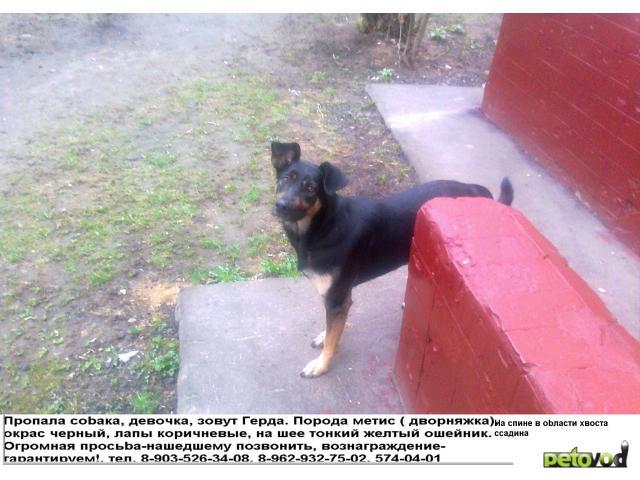 Потерялся/Нашелся: Пропала собака, метис (дворняжка) в г Сходня