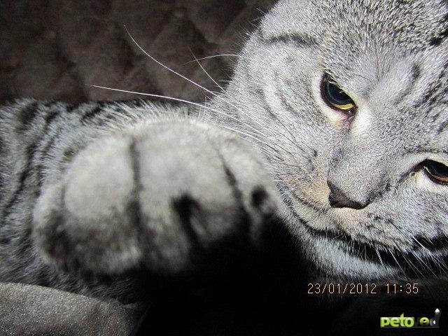 Вязка: Британский котик для вязки