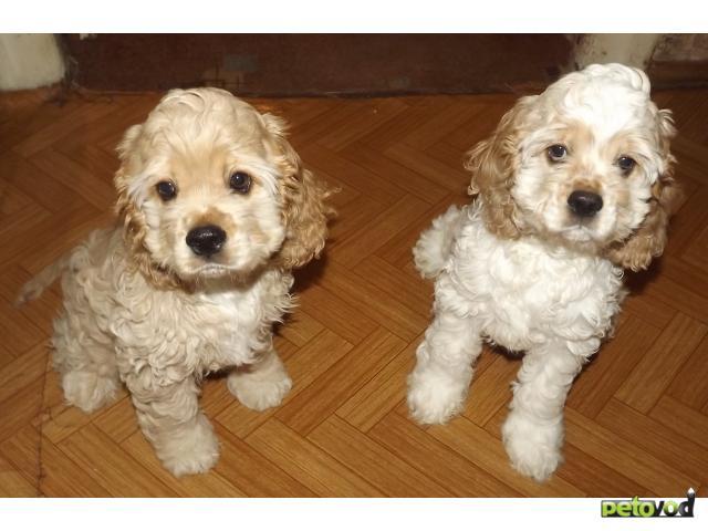 Продаю: Американского кокер-спаниеля щеночки продаются