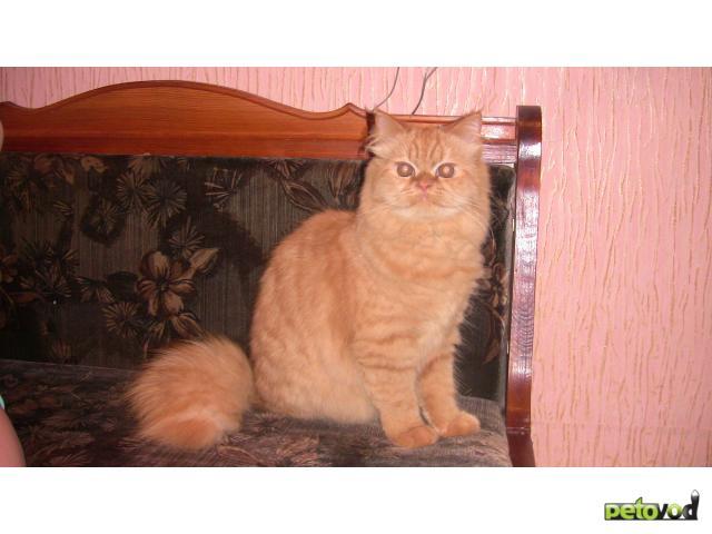 Отдам в дар: Кошечка - метис перса в добрые руки