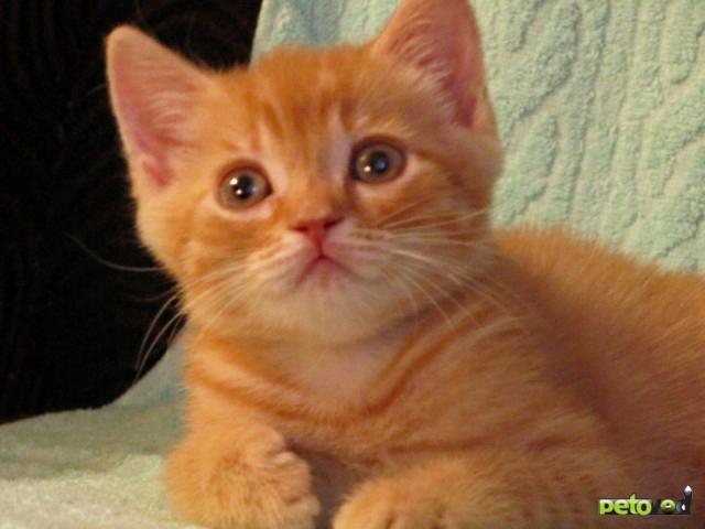 Продаю:  британских котиков