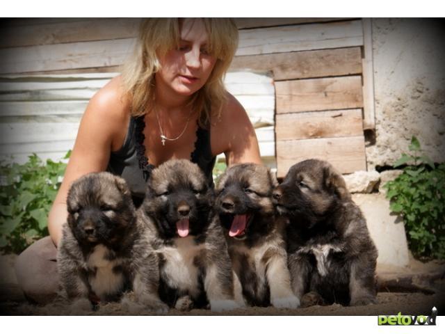 Продаю: тся щенки кавказской овчарки