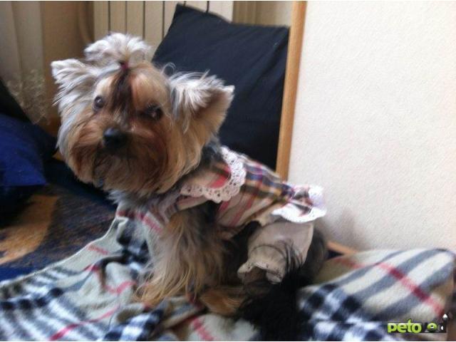 Потерялся/Нашелся: Пропала девочка йоркширского терьера в Тушино