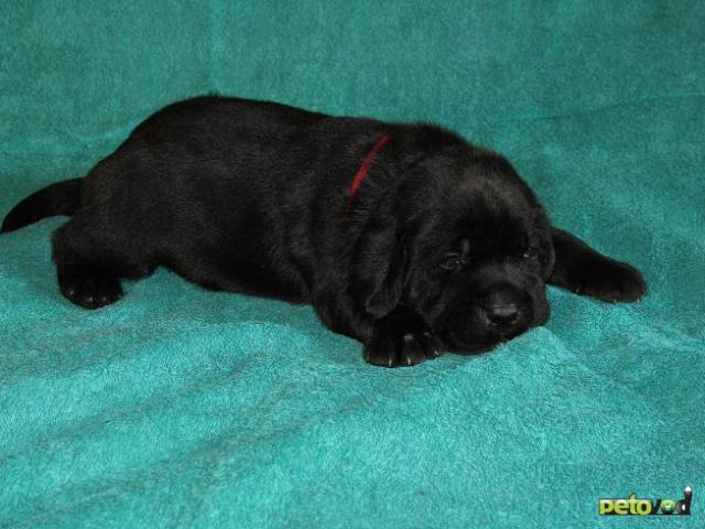 Продаю: Шоколадные и черные щенки лабрадора