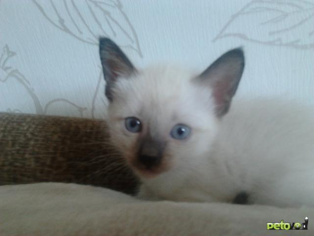 Продаю: Тайский котенок