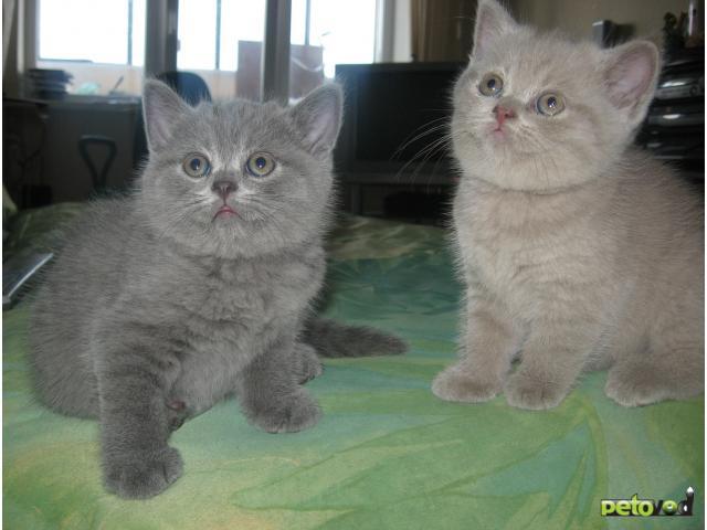 Продаю: Британские короткошерстные котята в рассрочку