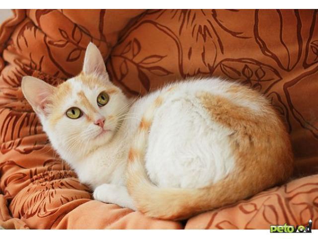 Отдам в дар: Бело-рыжий котенок на пмж