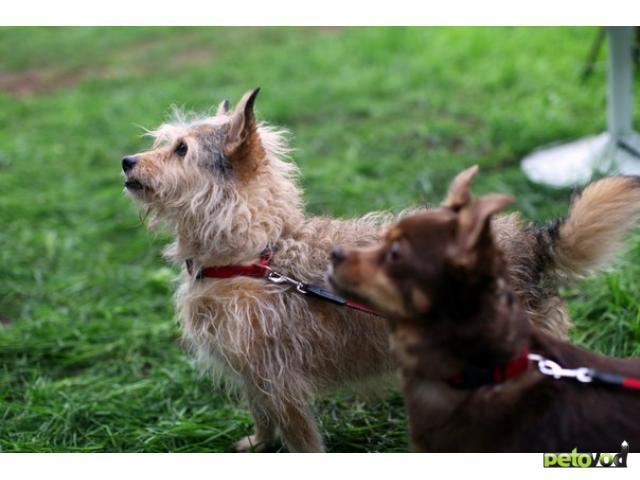 Отдам в дар: 2 маленькие собачки ищут дом