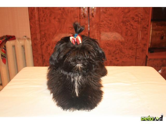 Продаю:  щенков ши-тцу
