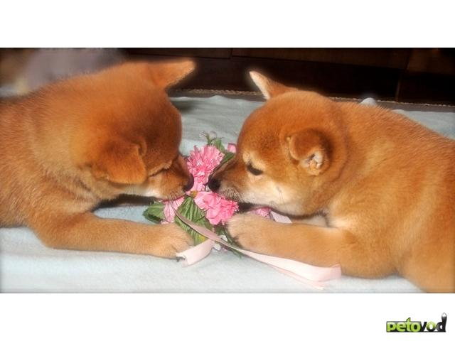 Продаю: Щенки японской собаки сиба-ину (сибы, шибы)