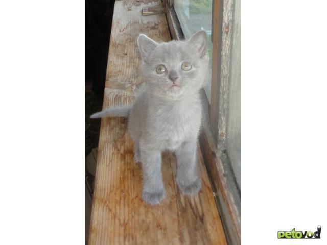 Продаю: Продаем британских голубых котят