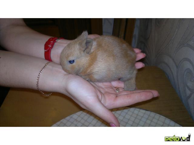 Продаю:  декоративного кролика