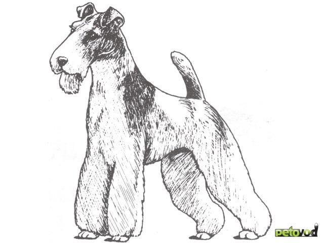 Продаю:  щенков жесткошерстного фокстерьера