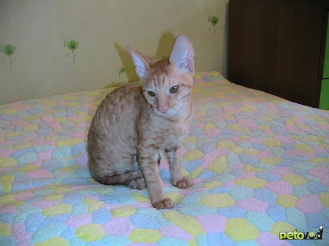 Продаю: Продается котенок корниш-рекс