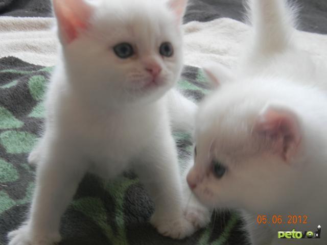 Продаю: Котята от британского кота и европейской кошки