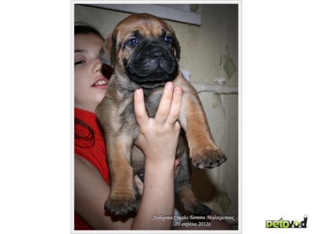 Продаю: тся щенки Южноафриканского Бурбуля