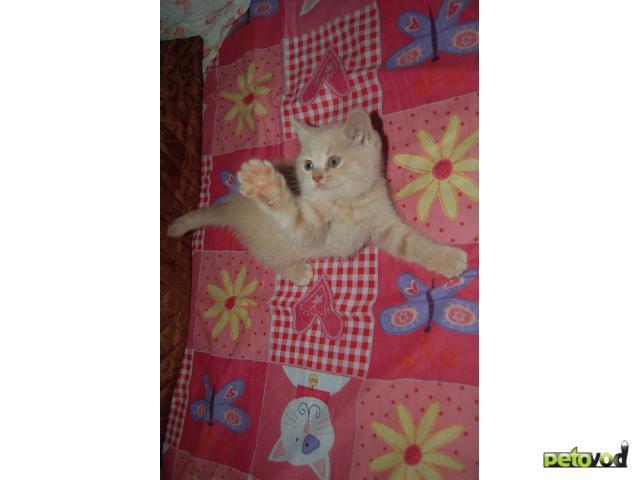 Продаю: Очаровательные британские котятки