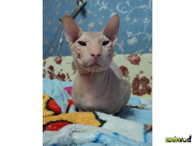 Вязка: Кот породы Донской сфинкс ищет кошку