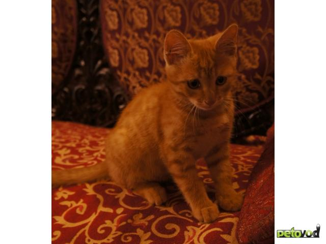 Отдам в дар: Отдам в дар рыжего котенка