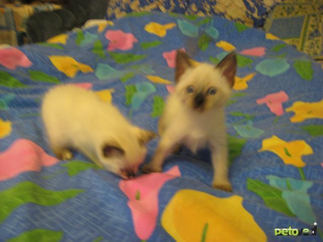 Продаю: Чудесные тайские котята продаются недорого