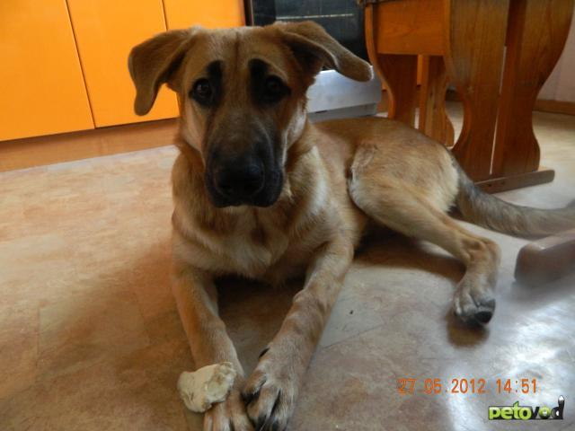Отдам в дар: Отдам молодую собаку, метис немецкой овчарки