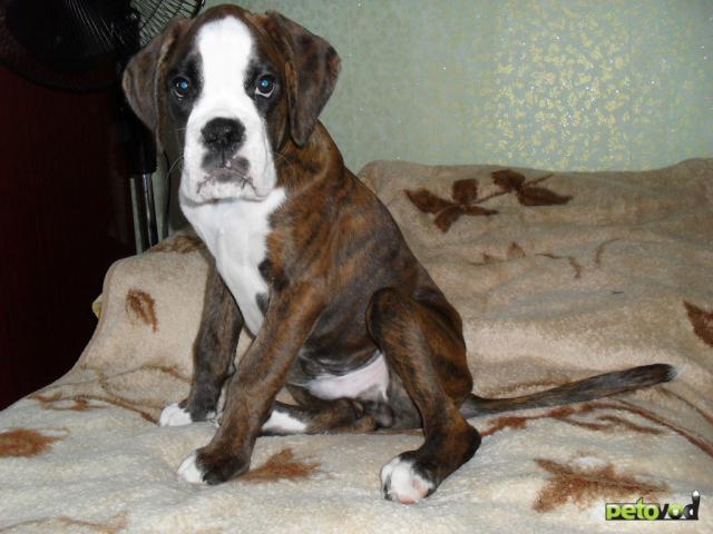 Продаю: Алиментный щенок боксера