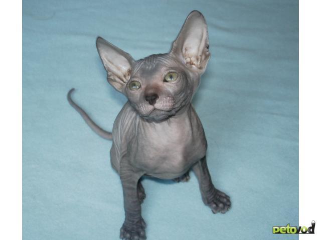 Продаю: Украинский левкой - голые котята