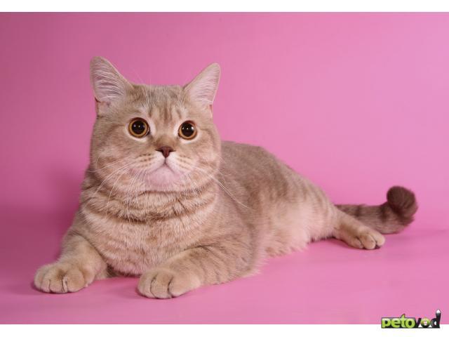Вязка: Молодой британский кот ищет кошечку для вязки