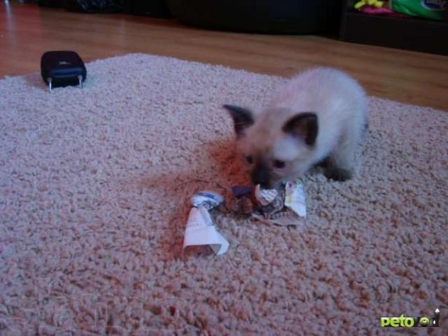 Продаю: Сиамский (тайский) котенок