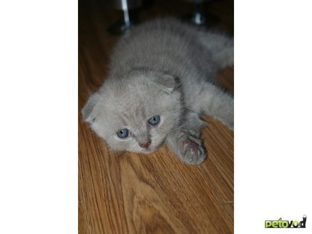 Продаю: Шотландский вислоухий котенок