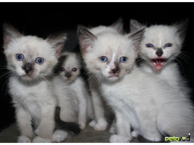 Продаю: Бирманские котята
