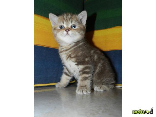 Продаю: Элитные британские котята