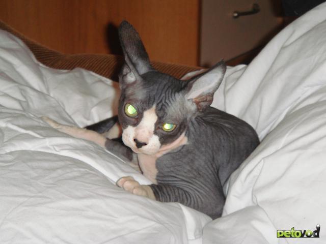Продаю:  котят Канадского сфинкса