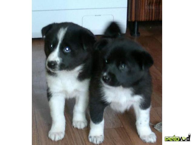 Продаю: Восточноевропейская лайка, щенки